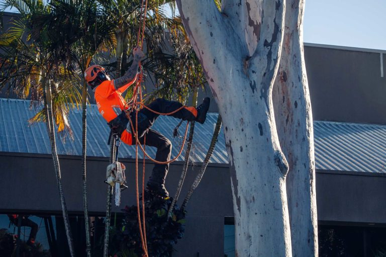 palm tree removal Deception Bay